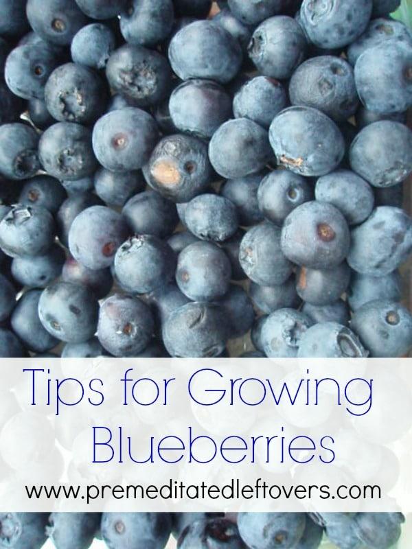 Tips for Growing Blueberries in your backyard garden