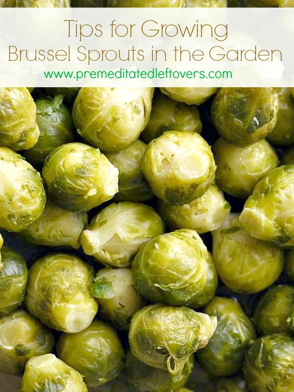 Tips for Growing Brussels Sprouts in the Garden - How to grow Brussels sprouts, how to transplant Brussels sprouts & when to harvest Brussels sprouts plants.
