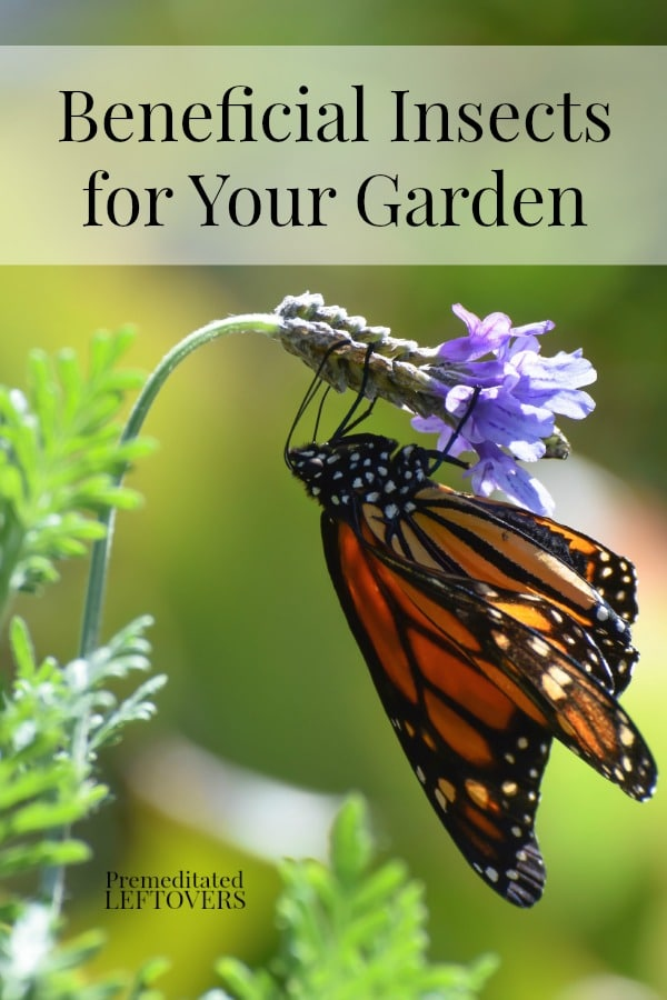 Here is a list of Beneficial Insects for Your Garden that help your garden by eating harmful pests or pollinating flowers, and tips on how to attract them.