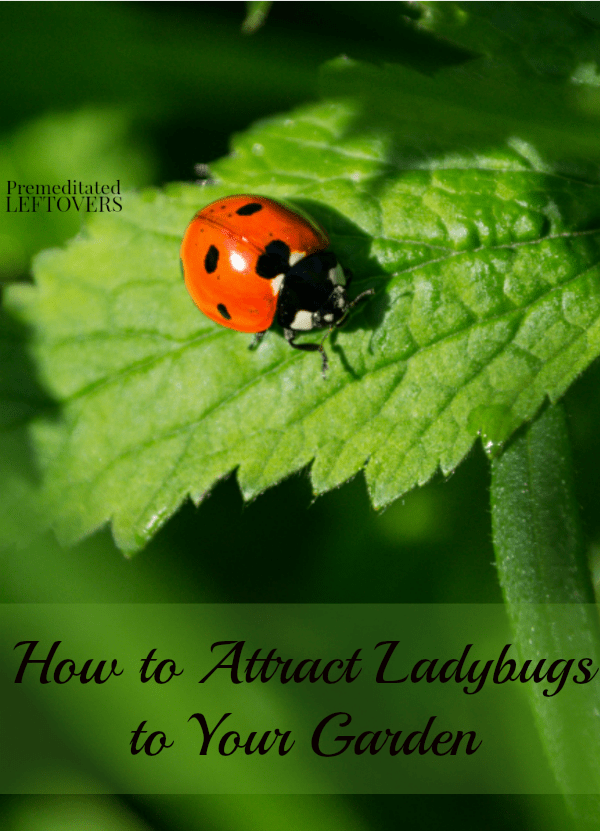 Attracting ladybugs to your garden is a great way to naturally keep the aphids away. Here are some tips for How to Attract Ladybugs to Your Garden.