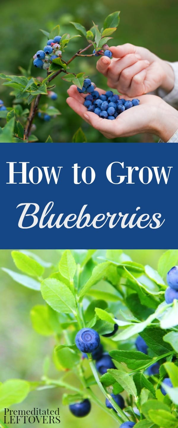How To Grow Custard Apple: Tips For Growing Blueberries In Your Garden