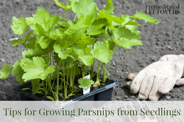 How to grow parsnips - tips for growing parsnips in your garden.