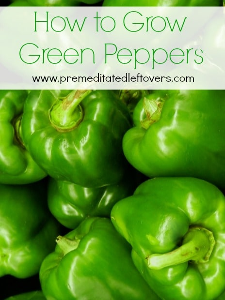 Growing Peppers In Your Vegetable Garden: How To Grow Green Bell Peppers