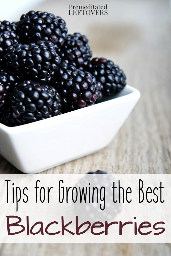 Tips for Growing Blackberries