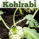 Tips for Growing Kohlrabi in Your Garden