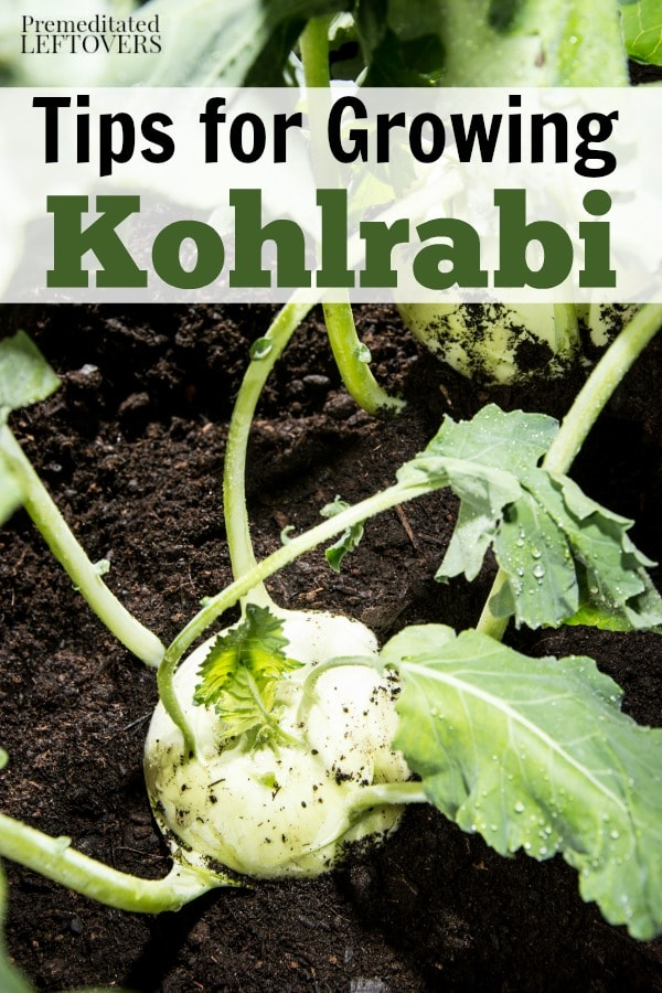 Tips for Growing Kohlrabi in Your Garden, including how to grow kohlrabi from seeds, how to care for kohlrabi seedlings, and how to harvest kohlrabi.