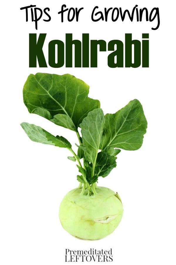 Tips for Growing Kohlrabi in Your Garden