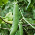Tips for Growing Peas in Your Garden