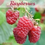 Tips for Growing Raspberries