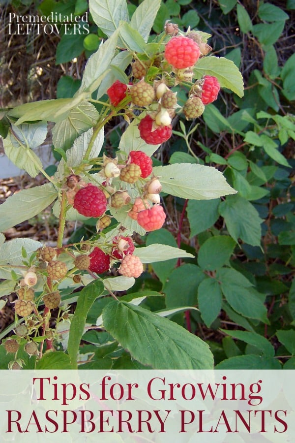 Tips for Growing Raspberry Plants in Your Garden