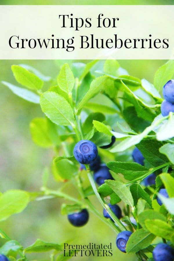 Tips for Growing Blueberries, including how to plant blueberries, how to grow blueberries in containers, and when to harvest blueberries.