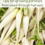 Tips for growing parsnips from seed through harvest