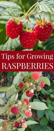 Tips for growing raspberries - from planting raspberry plants to harvesting berries.