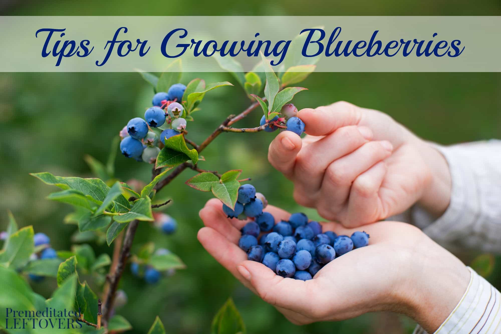 These tips for growing blueberries include everything from planting to harvest, including growing blueberries in containers