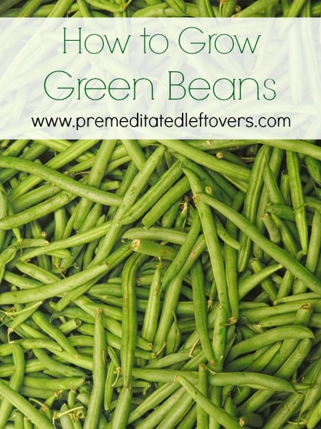 How to grow green beans for Indoor gardening green beans