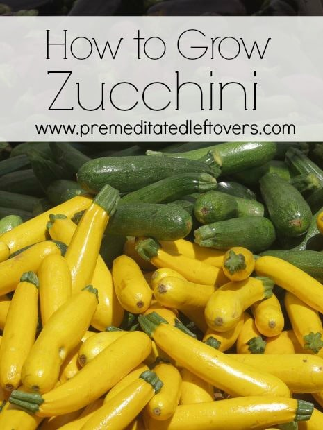 How to Grow Zucchini - Tips on how to start zucchini seeds, how to transplant zucchini seedlings, and how to care for and harvest zucchini.