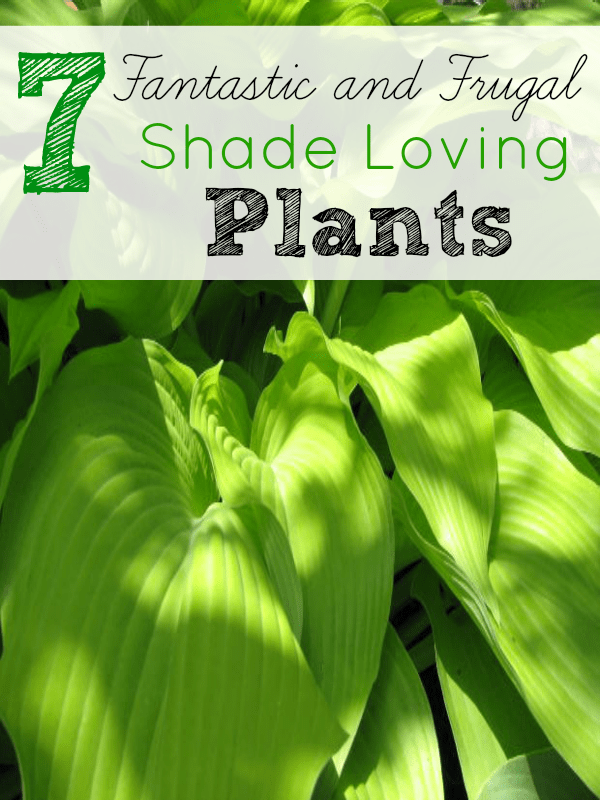 7 frugal shade loving plants - Plants you cant kill dont give up ...