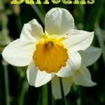 7 Tips for Growing Daffodils