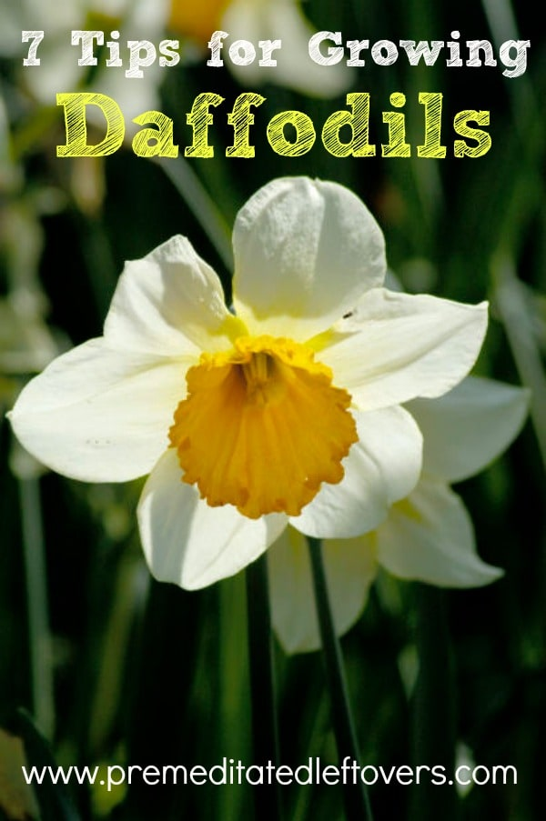 7 Tips for Growing Daffodils, including tips on planting daffodils, what type of soil to plant in, how to pick daffodils, and  how to store bulbs.