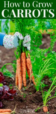 how to grow carrots in your garden this summer