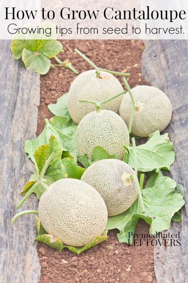 Tips for growing cantaloupe, including how to plant cantaloupe seeds and cantaloupe seedlings, and how to harvest cantaloupe.