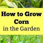 How to Grow Corn in Your Garden - From Seed to Harvest