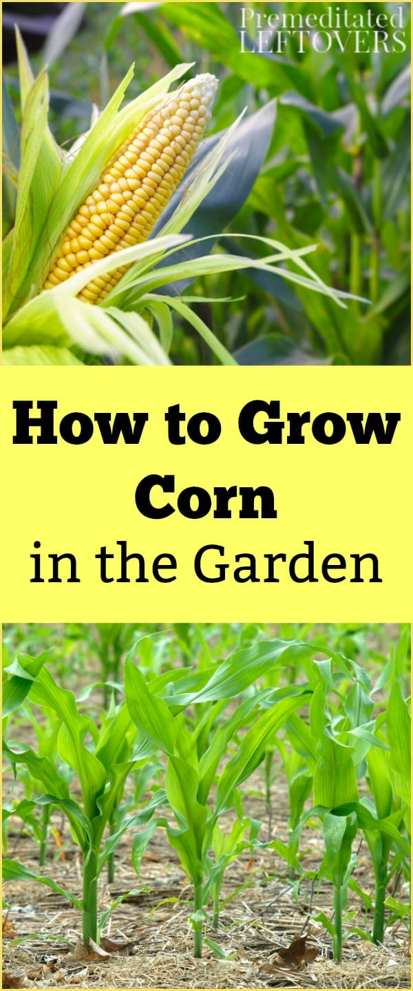 Tips for Growing Corn, including how to plant corn seeds, how to care for corn seedlings, and how to harvest corn.