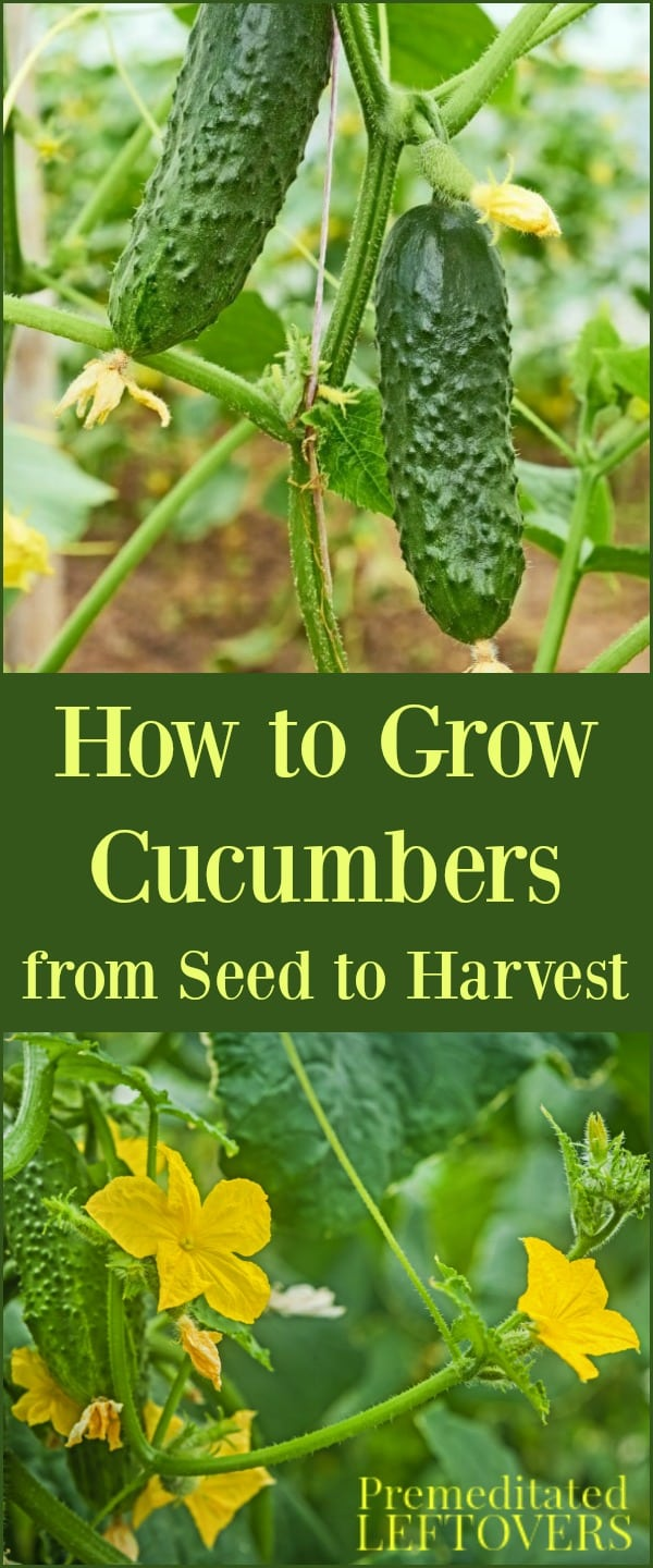 How to Grow Cucumbers in Your Garden - From Seed to Harvest