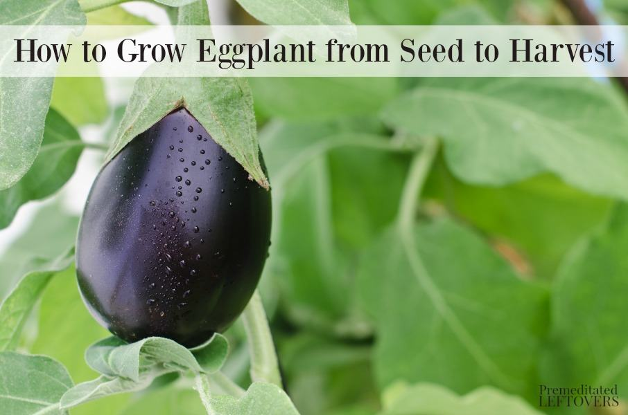 How to grow eggplant from seed to harvest
