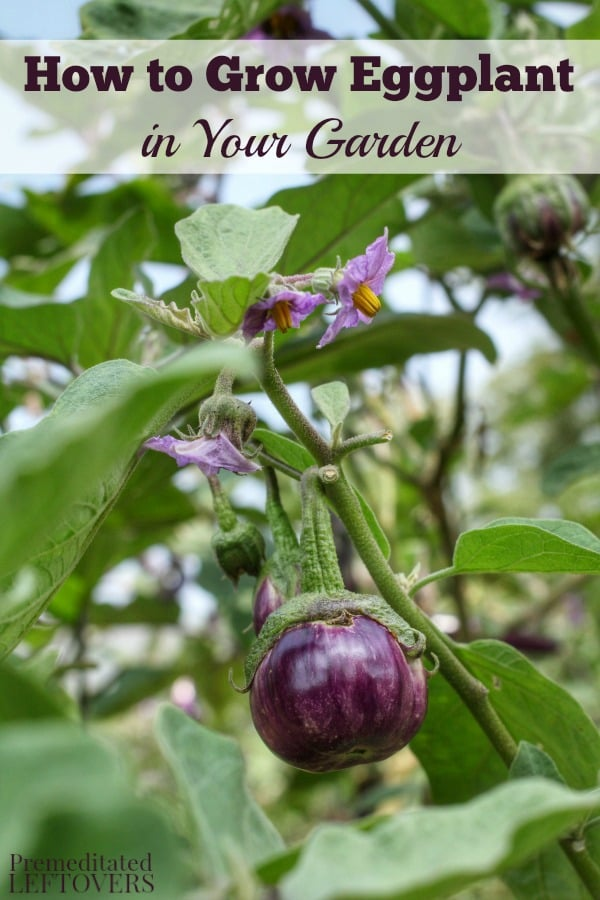 Learn How To Grow Eggplant! Gardening Tips On How To Plant Eggplant Seeds  Or Seedlings