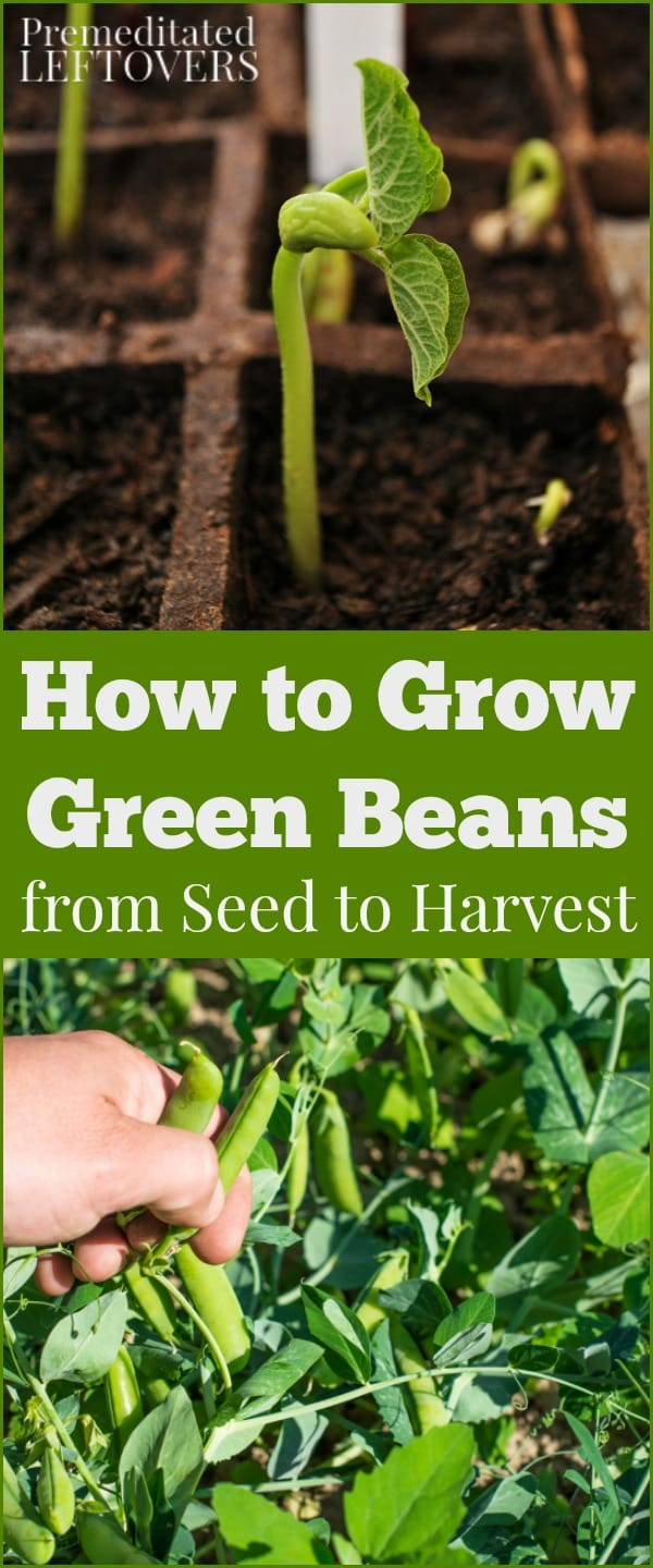 How to grow green beans in your garden from seed to harvest for Indoor gardening green beans