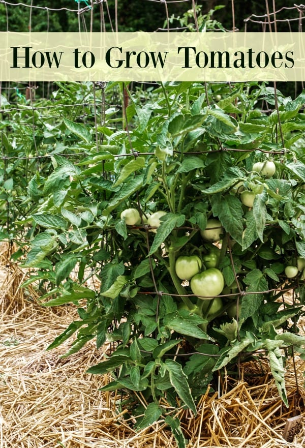 How To Grow Custard Apple: How To Grow Tomatoes In Your Garden