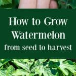 Tips for growing watermelon, including how to plant watermelon seeds and watermelon seedlings, and how to harvest watermelon.