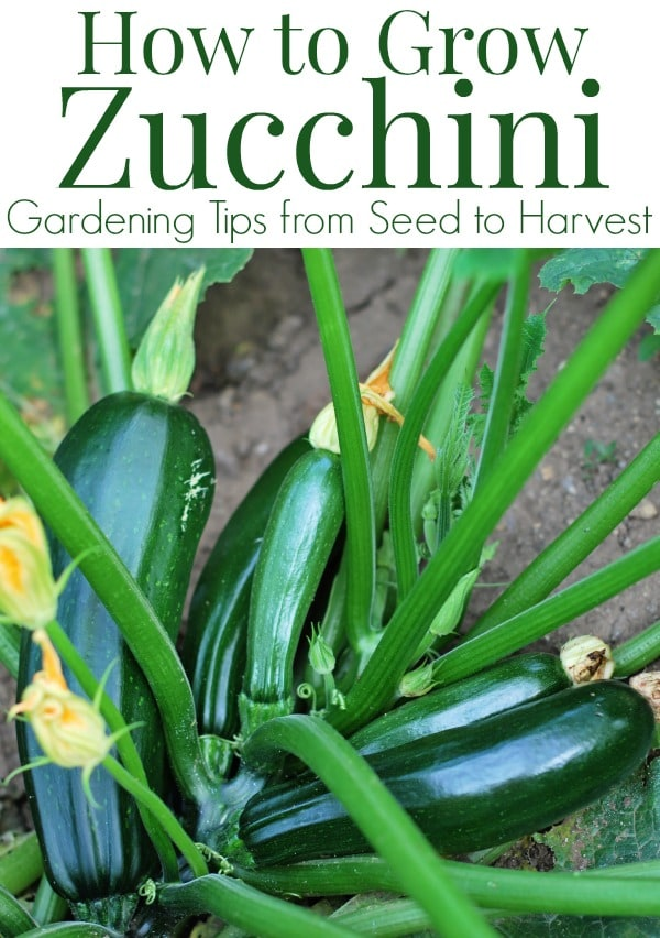 How to grow Zucchini plants