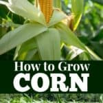 How to grow corn from seed to harvest.