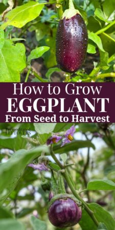 how to grwo eggplant from seed to harvest