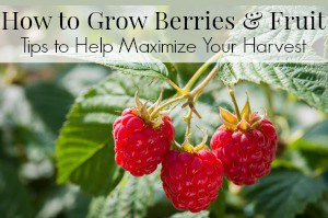 How to Grow Berries and Fruit - Gardening Tips to Help Maximize Your Harvest
