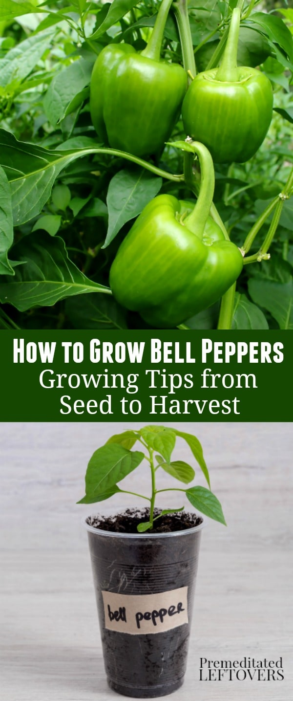 How to Grow Green Bell Peppers - growing tips from seed to harvest