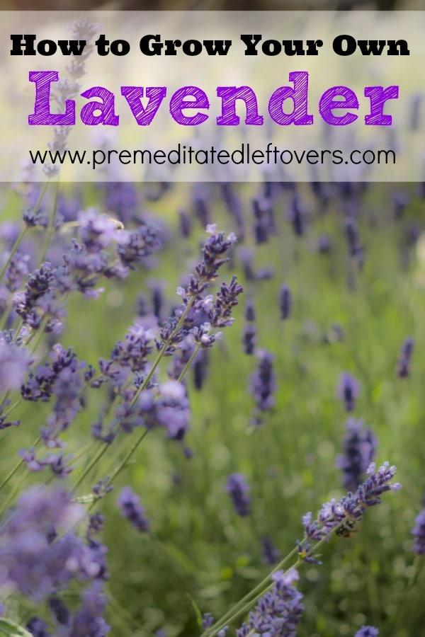 how to grow lavender. Black Bedroom Furniture Sets. Home Design Ideas