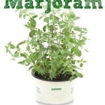 How to Grow Marjoram
