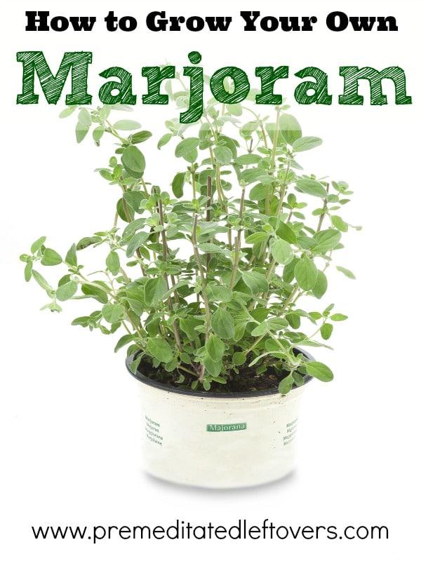 How To Grow Marjoram