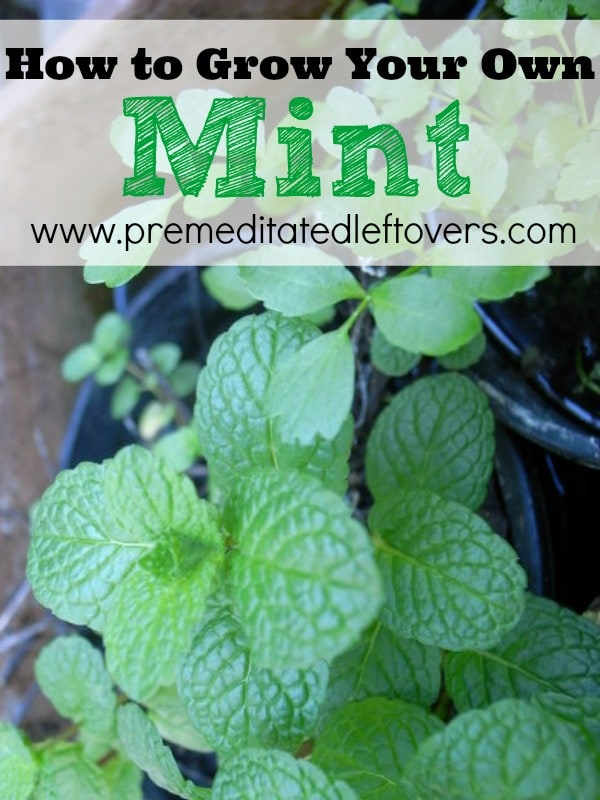 how to grow mint. Black Bedroom Furniture Sets. Home Design Ideas