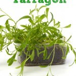How to Grow Tarragon