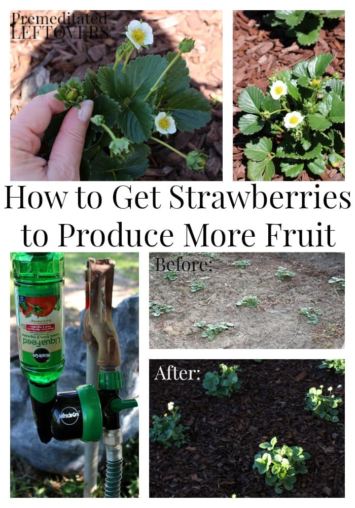 How to Get Strawberries to Produce More Fruit - tips for making your strawberries produce more flowers and more fruit to increase your harvest.