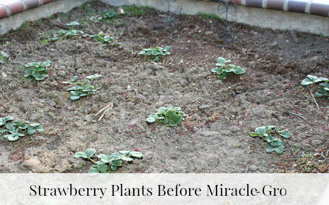 Strawberry plants not blossoming or producing berries before Miracle-Gro LiquaFeed
