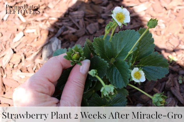 Strawberry Plant 2 Weeks after Miracle-Gro Application - How to get strawberries to blossom