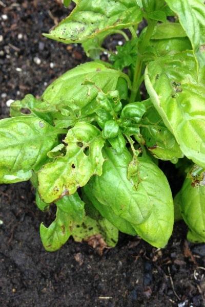 Earwigs Eating Plant