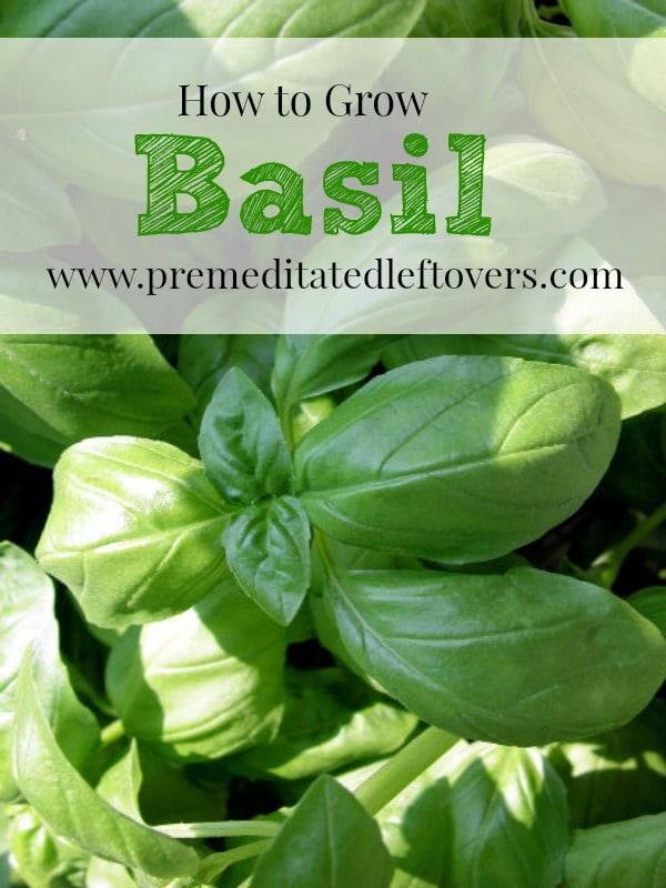 how to grow basil. Black Bedroom Furniture Sets. Home Design Ideas