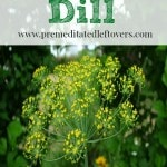 How to Grow Dill- Dill is perfect for pickling, marinades, and a variety of other dishes. Take look a these helpful tips for growing your own fresh dill.