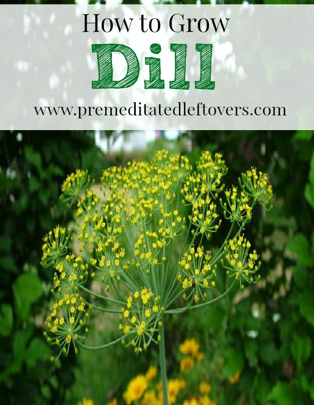 How To Grow It And How To Use It For: How To Grow Dill